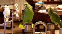 鹦鹉飙高音唱纤夫的爱