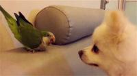二货鹦鹉与狗狗蠢萌日常