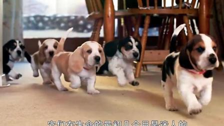 从小小狗到它们的青春期: 雪纳瑞边牧泰迪法斗金毛犬……
